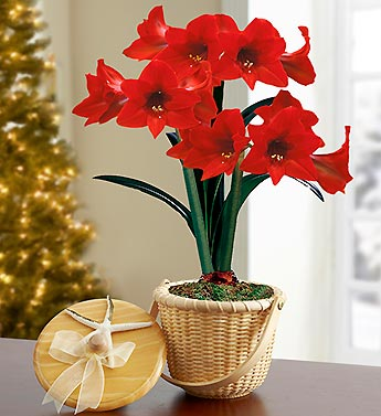 Nantucket Amaryllis