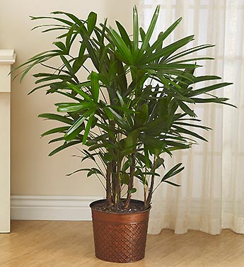 Raphis Palm Floor Plant for Sympathy