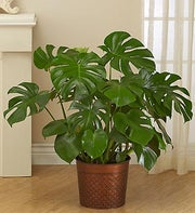 Philodendron Monstera Floor Plant for Sympathy