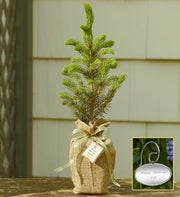 /Colorado Blue Spruce Tree with Personalized Plaque
