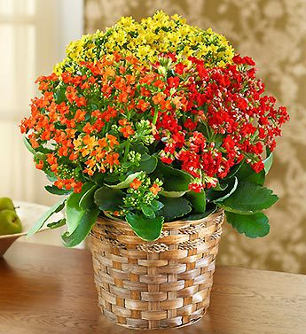 Autumn Kalanchoe