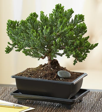 Juniper Bonsai + Free Shipping