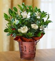 Autumn Elegance Gardenia Plant