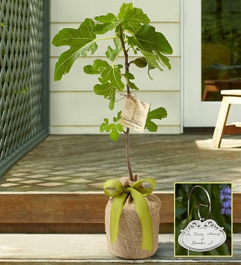 Fig Tree for Sympathy