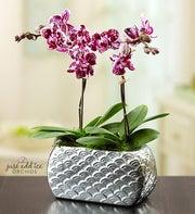 Violet Opulence Orchid