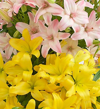 Assorted Lilies 100 Stems