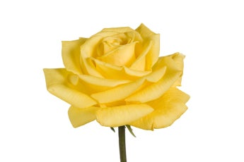 Yellow Goldstar Roses- Special Order!