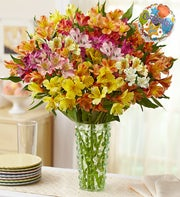 Congratulations Peruvian Lily, 50-100 Blooms