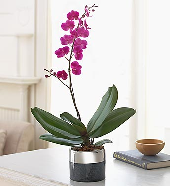 orchid in black and silver planter