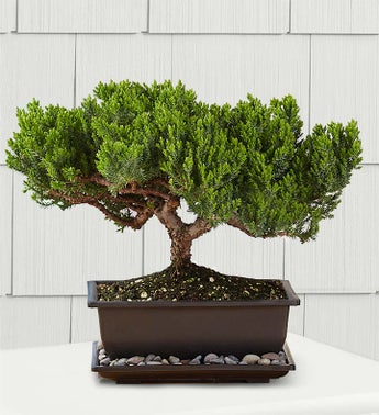 Green Mound Juniper Bonsai