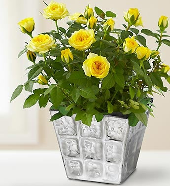 Modern Rose Plant