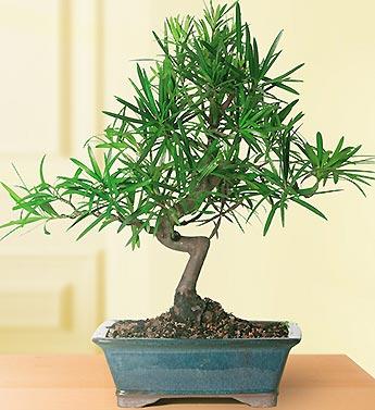 /Podocarpus Ficus Bonsai