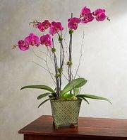 Alluring Magenta Orchid Garden