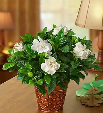 Ultimate Elegance Gardenia