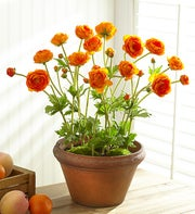 Potted Orange Silk Ranunculus