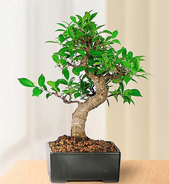 Graceful Bonsai