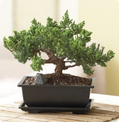 The Bonsai Gallery